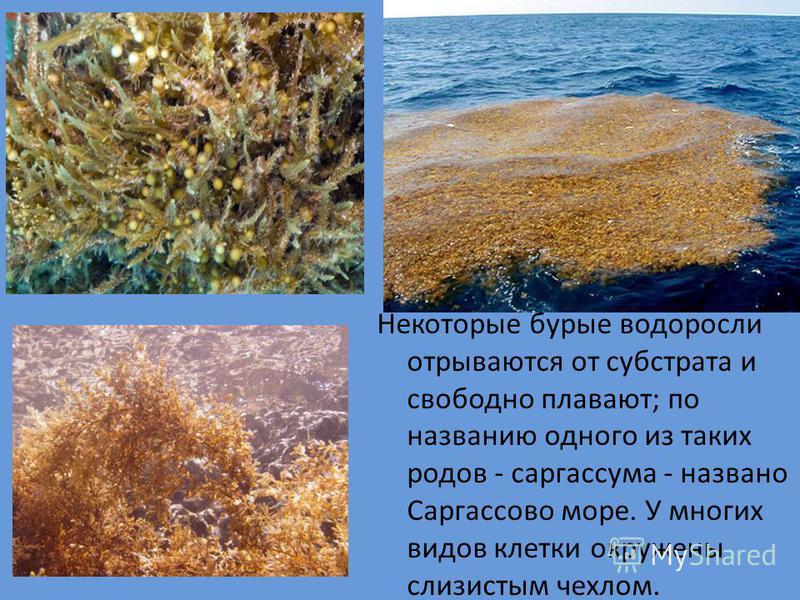 Некоторые бурые водоросли отрываются от субстрата и свободно плавают; по названию одного из таких родов - саргассума - названо Саргассово море. У многих видов клетки окружены слизистым чехлом.