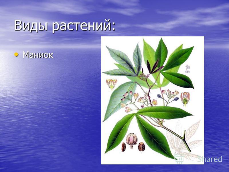 Виды растений: Маниок Маниок
