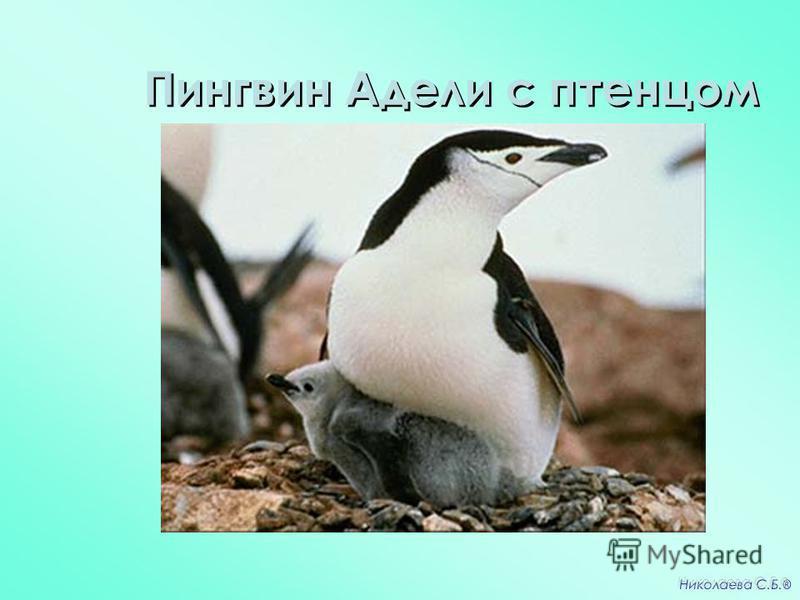 Пингвин Адели с птенцом Николаева С.Б. ®