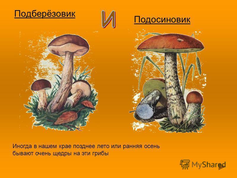 Подберёзовик Подосиновик Иногда в нашем крае позднее лето или ранняя осень бывают очень щедры на эти грибы