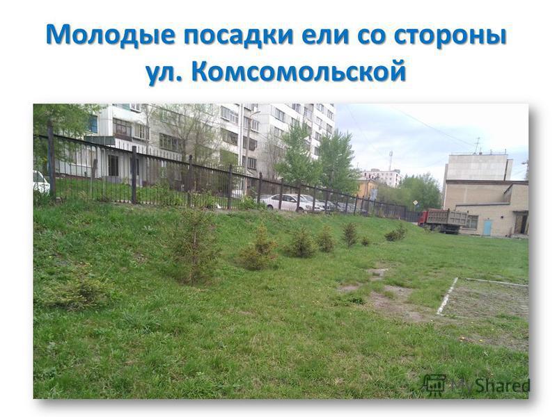 Молодые посадки ели со стороны ул. Комсомольской