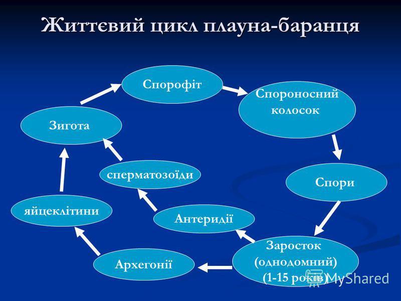 Життєвий цикл плауна-баранця Спорофіт Спороносний колосок Спори Заросток (однодомний) (1-15 років) Антеридії Зигота Архегонії сперматозоїди яйцеклітини