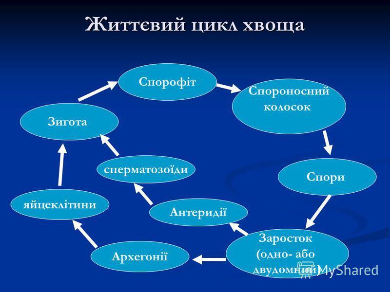 Життєвий цикл хвоща Спорофіт Спороносний колосок Спори Заросток (одно- або двудомний) Антеридії Зигота Архегонії сперматозоїди яйцеклітини