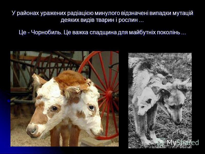 У районах уражених радіацією минулого відзначені випадки мутацій деяких видів тварин і рослин... Це - Чорнобиль. Це важка спадщина для майбутніх поколінь...