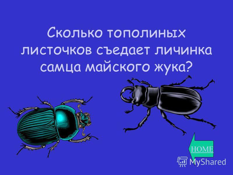 HOME Сколько тополиных листочков съедает личинка самца майского жука?