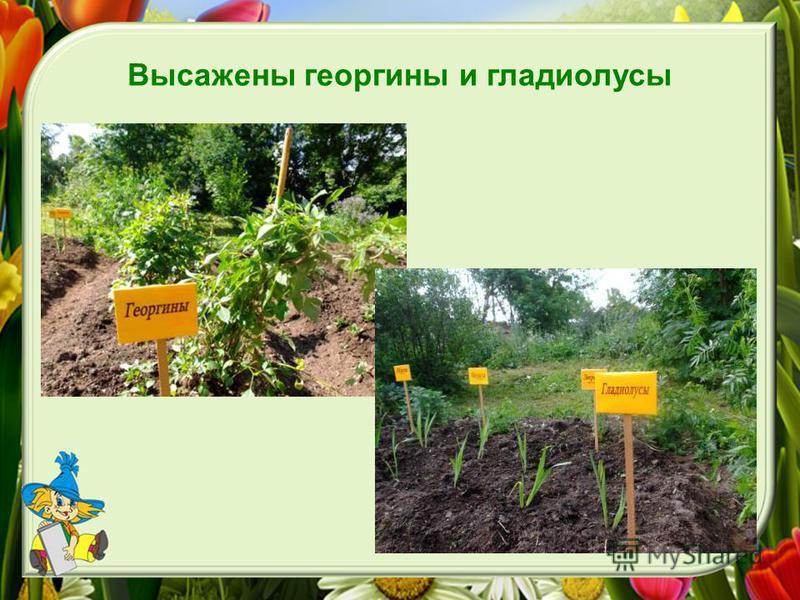 Высажены георгины и гладиолусы