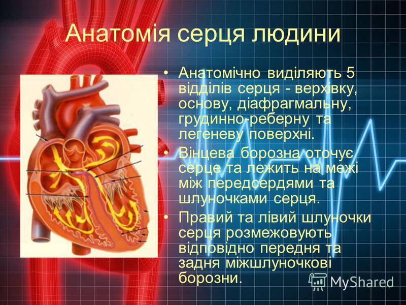 Анатомія серця людини Анатомічно виділяють 5 відділів серця - верхівку, основу, діафрагмальну, грудинно-реберну та легеневу поверхні. Вінцева борозна оточує серце та лежить на межі між передсердями та шлуночками серця. Правий та лівий шлуночки серця