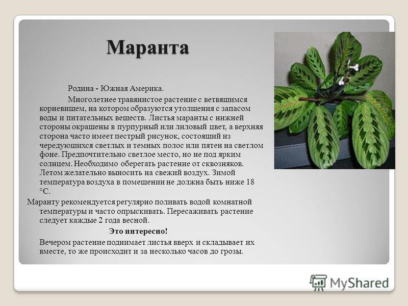 Маранта Родина - Южная Америка. Многолетнее травянистое растение с ветвящимся корневищем, на котором образуются утолщения с запасом воды и питательных веществ. Листья маранты с нижней стороны окрашены в пурпурный или лиловый цвет, а верхняя сторона ч