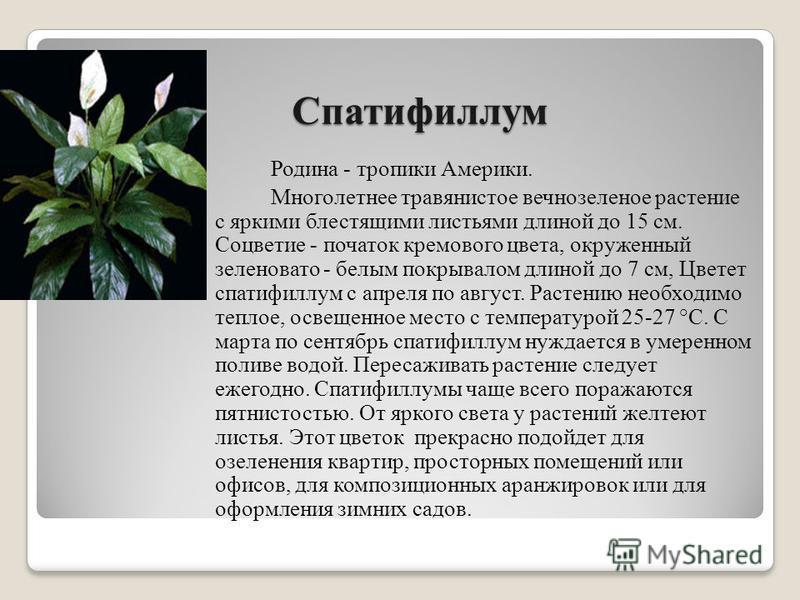 Спатифиллум Родина - тропики Америки. Многолетнее травянистое вечнозеленое растение с яркими блестящими листьями длиной до 15 см. Соцветие - початок кремового цвета, окруженный зеленовато - белым покрывалом длиной до 7 см, Цветет спатифиллум с апреля