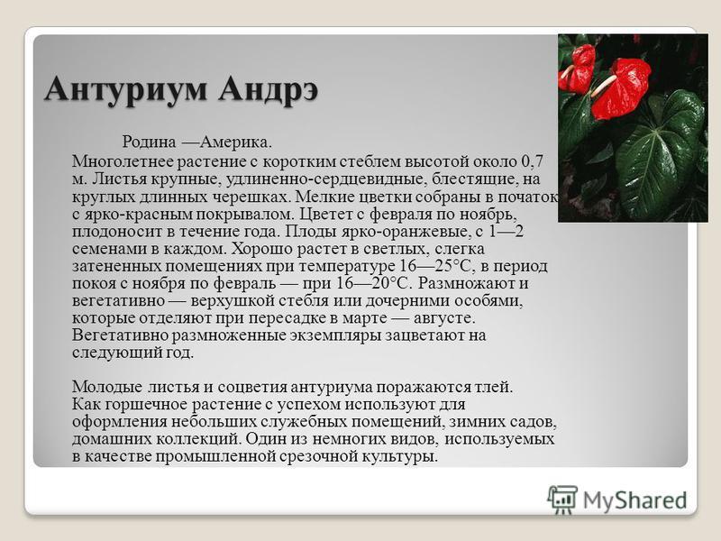 Антуриум Андрэ Родина Америка. Многолетнее растение с коротким стеблем высотой около 0,7 м. Листья крупные, удлиненно-сердцевидные, блестящие, на круглых длинных черешках. Мелкие цветки собраны в початок с ярко-красным покрывалом. Цветет с февраля по
