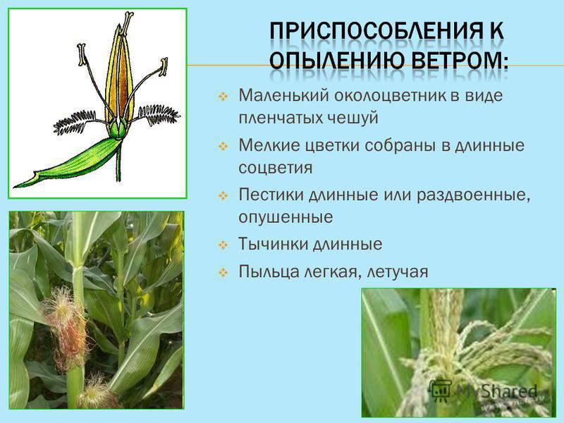 Маленький околоцветник в виде пленчатых чешуй Мелкие цветки собраны в длинные соцветия Пестики длинные или раздвоенные, опушенные Тычинки длинные Пыльца легкая, летучая