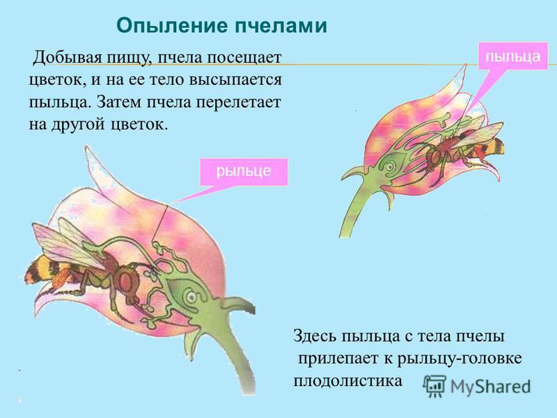 Опыление пчелами Добывая пищу, пчела посещает цветок, и на ее тело высыпается пыльца. Затем пчела перелетает на другой цветок. Здесь пыльца с тела пчелы прилипает к рыльцу-головке плодолистика пыльца рыльце