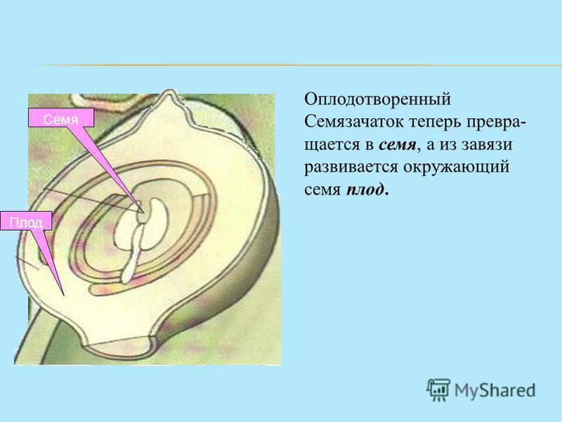Оплодотворенный Семязачаток теперь превращается в семя, а из завязи развивается окружающий семя плод. Семя Плод