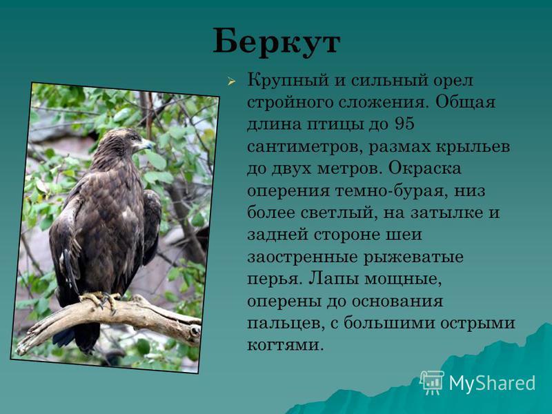 Беркут Крупный и сильный орел стройного сложения. Общая длина птицы до 95 сантиметров, размах крыльев до двух метров. Окраска оперения темно-бурая, низ более светлый, на затылке и задней стороне шеи заостренные рыжеватые перья. Лапы мощные, оперены д