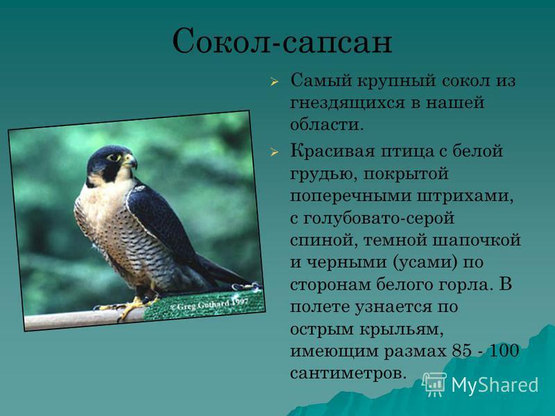 Сокол-сапсан Самый крупный сокол из гнездящихся в нашей области. Красивая птица с белой грудью, покрытой поперечными штрихами, с голубовато-серой спиной, темной шапочкой и черными (усами) по сторонам белого горла. В полете узнается по острым крыльям,