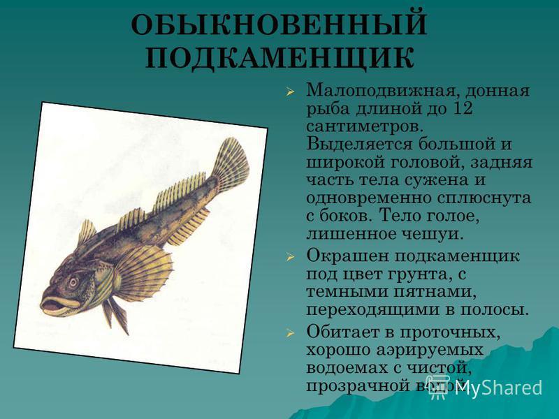 ОБЫКНОВЕННЫЙ ПОДКАМЕНЩИК Малоподвижная, донная рыба длиной до 12 сантиметров. Выделяется большой и широкой головой, задняя часть тела сужена и одновременно сплюснута с боков. Тело голое, лишенное чешуи. Окрашен подкаменщик под цвет грунта, с темными