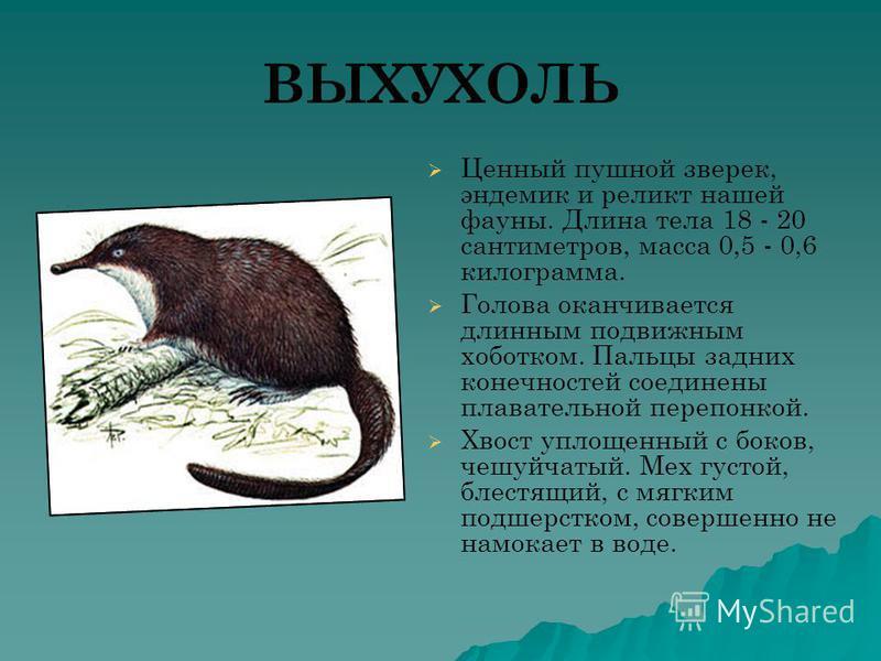ВЫХУХОЛЬ Ценный пушной зверек, эндемик и реликт нашей фауны. Длина тела 18 - 20 сантиметров, масса 0,5 - 0,6 килограмма. Голова оканчивается длинным подвижным хоботком. Пальцы задних конечностей соединены плавательной перепонкой. Хвост уплощенный с б