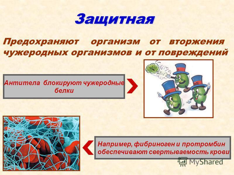 Защитная Например, фибриноген и протромбин обеспечивают свертываемость крови Антитела блокируют чужеродные белки Предохраняют организм от вторжения чужеродных организмов и от повреждений