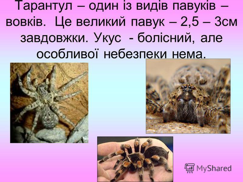 Тарантул – один із видів павуків – вовків. Це великий павук – 2,5 – 3см завдовжки. Укус - болісний, але особливої небезпеки нема.