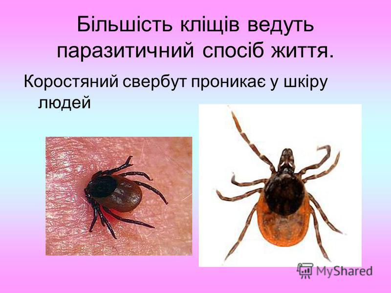 Більшість кліщів ведуть паразитичний спосіб життя. Коростяний свербут проникає у шкіру людей