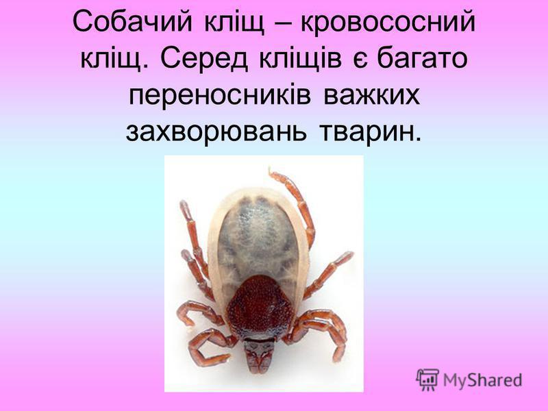 Собачий кліщ – кровососний кліщ. Серед кліщів є багато переносників важких захворювань тварин.