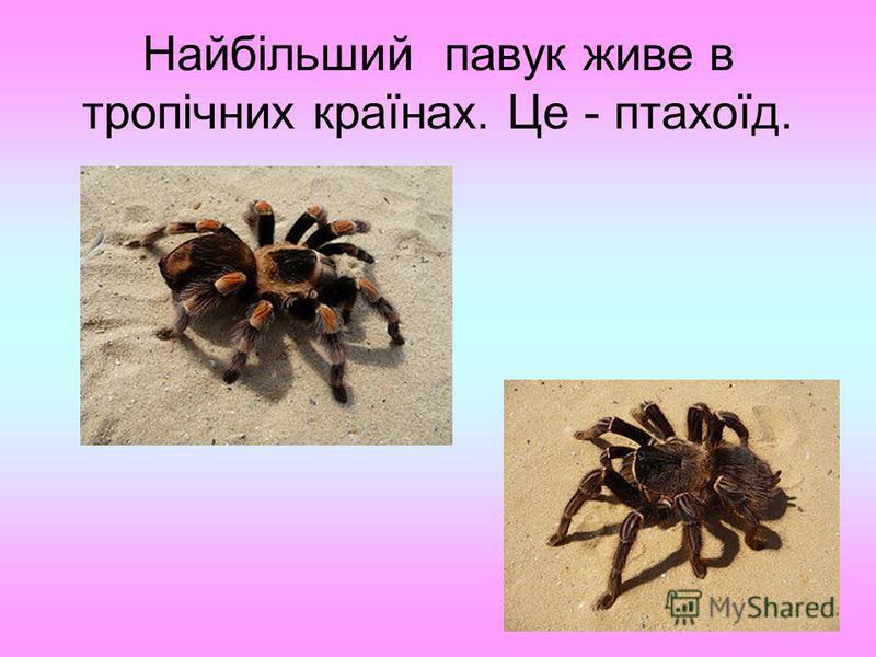 Найбільший павук живе в тропічних країнах. Це - птахоїд.