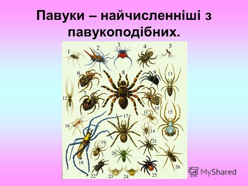 Павуки – найчисленніші з павукоподібних.