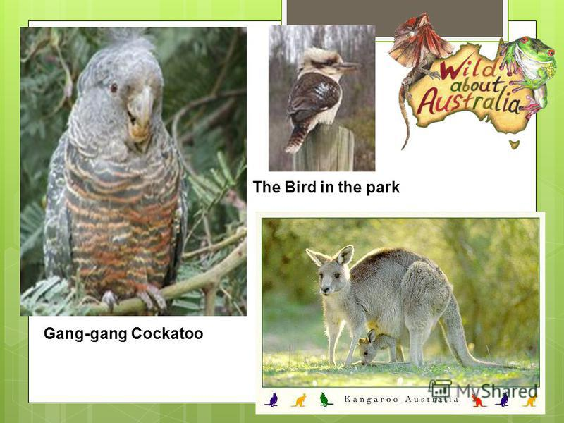 Gang-gang Cockatoo The Bird in the park The Murray Cod