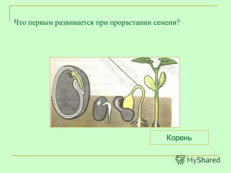 Что первым развивается при прорастании семени? Корень
