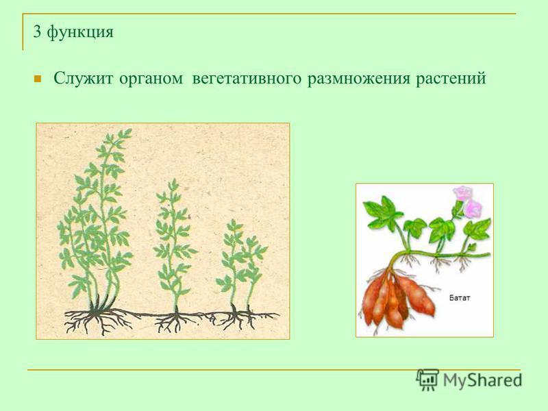 3 функция Служит органом вегетативного размножения растений