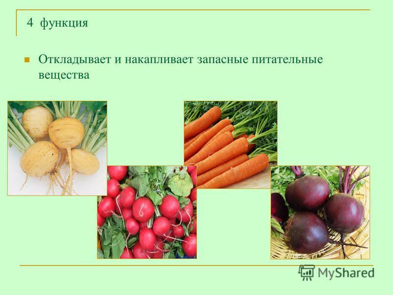 4 функция Откладывает и накапливает запасные питательные вещества