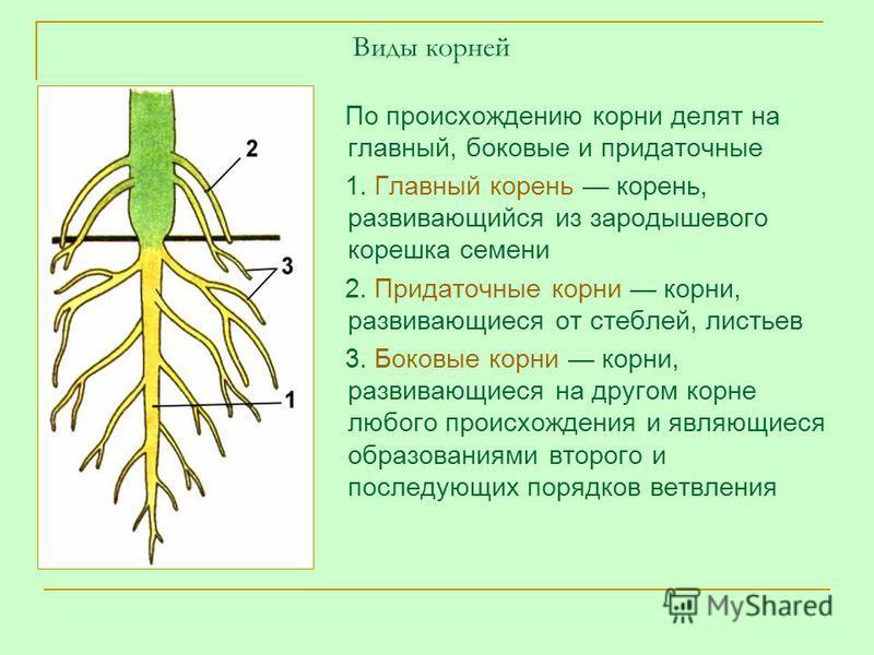 Виды корней По происхождению корни делят на главный, боковые и придаточные 1. Главный корень корень, развивающийся из зародышевого корешка семени 2. Придаточные корни корни, развивающиеся от стеблей, листьев 3. Боковые корни корни, развивающиеся на д