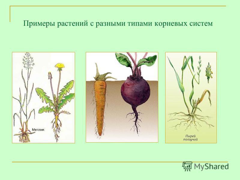 Примеры растений с разными типами корневых систем