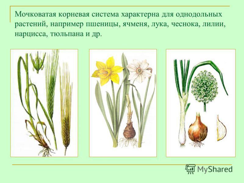 Мочковатая корневая система характерна для однодольных растений, например пшеницы, ячменя, лука, чеснока, лилии, нарцисса, тюльпана и др.