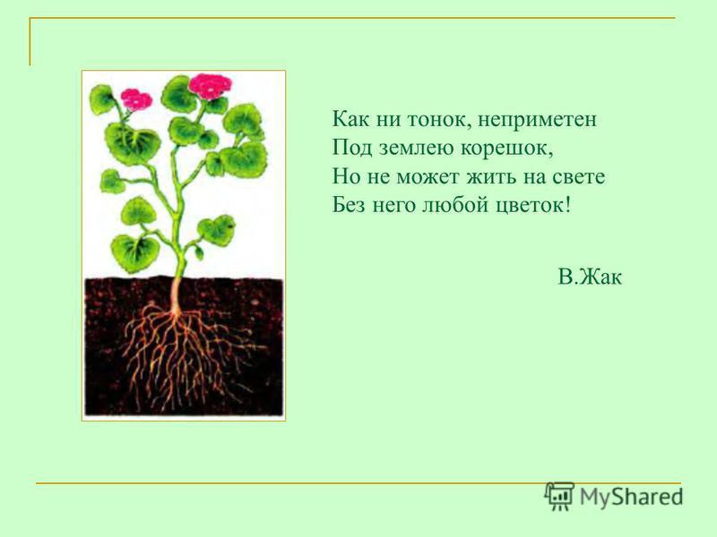 Как ни тонок, неприметен Под землею корешок, Но не может жить на свете Без него любой цветок! В.Жак
