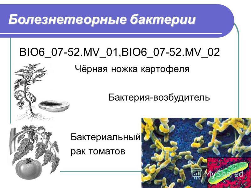 Болезнетворные бактерии BIO6_07-52.MV_01,BIO6_07-52.MV_02 Чёрная ножка картофеля Бактерия-возбудитель чумы Бактериальный рак томатов