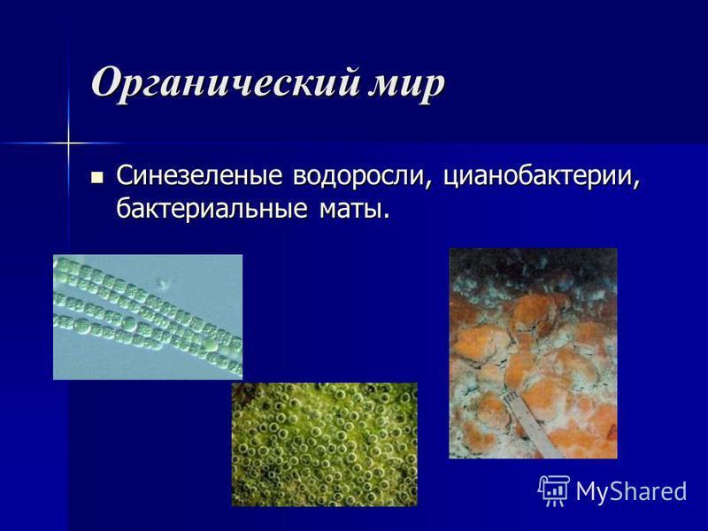 Органический мир Синезеленые водоросли, цианобактерии, бактериальные маты. Синезеленые водоросли, цианобактерии, бактериальные маты.