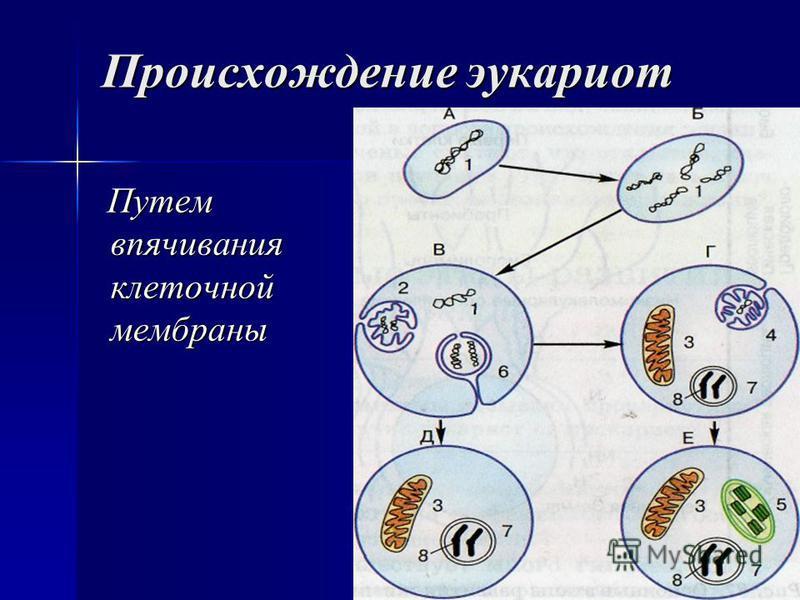 Происхождение эукариот Путем впячивания клеточной мембраны Путем впячивания клеточной мембраны