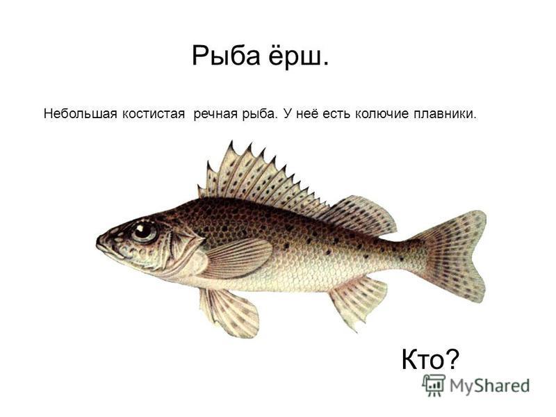 Рыба ёрш. Небольшая костистая речная рыба. У неё есть колючие плавники. Кто?