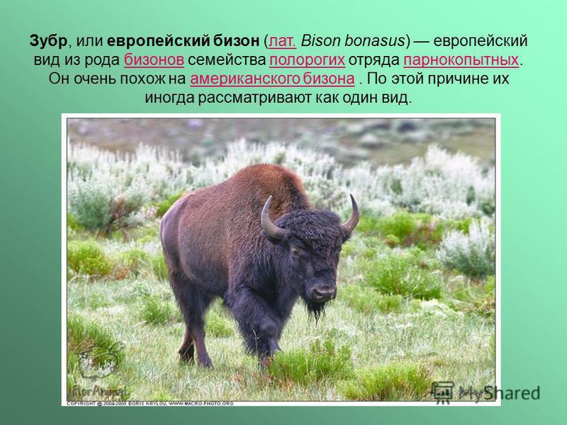 Зубр, или европейский бизон (лат. Bison bonasus) европейский вид из рода бизонов семейства полорогих отряда парнокопытных. Он очень похож на американского бизона. По этой причине их иногда рассматривают как один вид.лат.бизоновполорогихпарнокопытныха