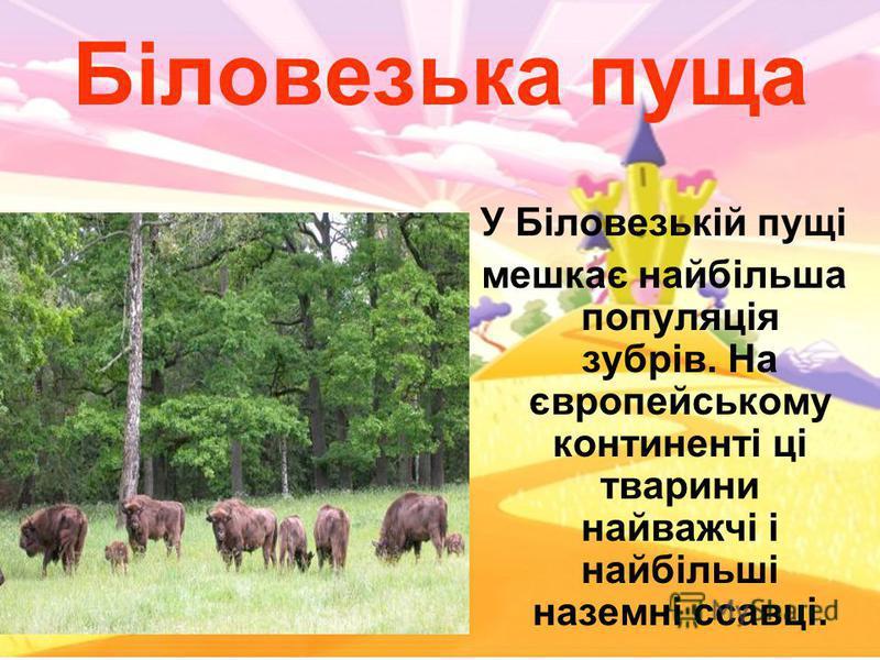 Біловезька пуща У Біловезькій пущі мешкає найбільша популяція зубрів. На європейському континенті ці тварини найважчі і найбільші наземні ссавці.