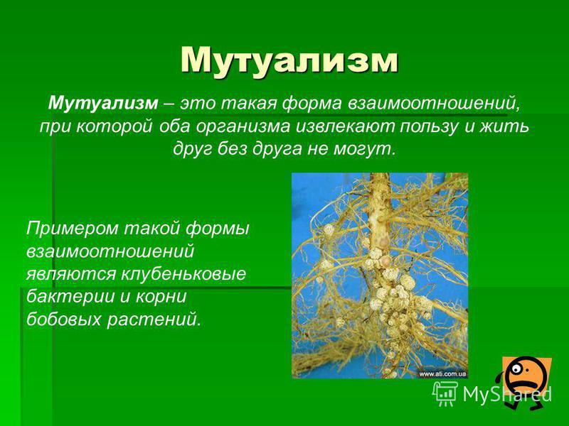 Мутуализм Мутуализм – это такая форма взаимоотношений, при которой оба организма извлекают пользу и жить друг без друга не могут. Примером такой формы взаимоотношений являются клубеньковые бактерии и корни бобовых растений.