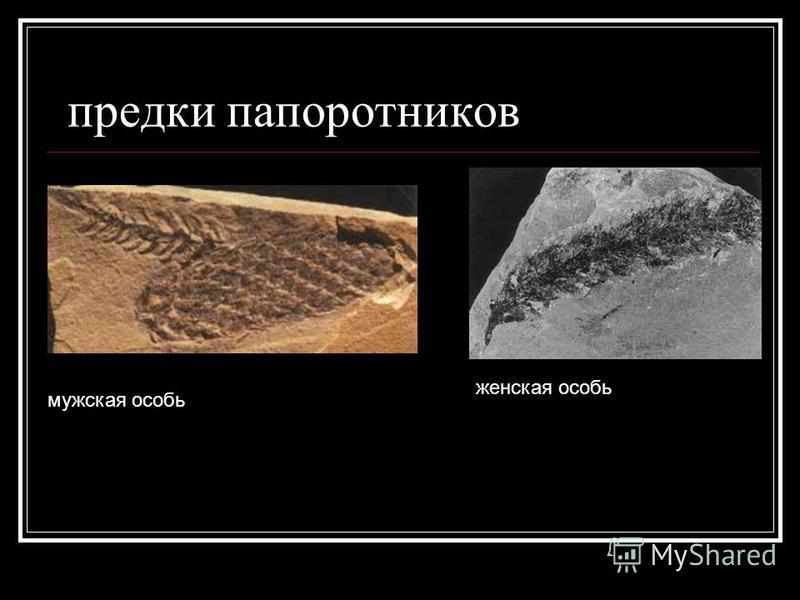 предки папоротников мужская особь женская особь