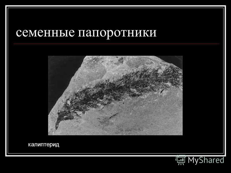 семенные папоротники калиптерид