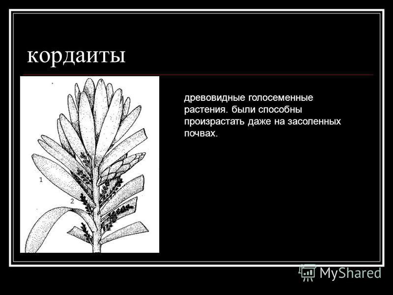 кордаиты древовидные голосеменные растения. были способны произрастать даже на засоленных почвах.
