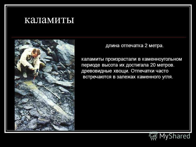каламиты длина отпечатка 2 метра. каламиты произрастали в каменноугольном периоде высота их достигала 20 метров. древовидные хвощи. Отпечатки часто встречаются в залежах каменного угля.