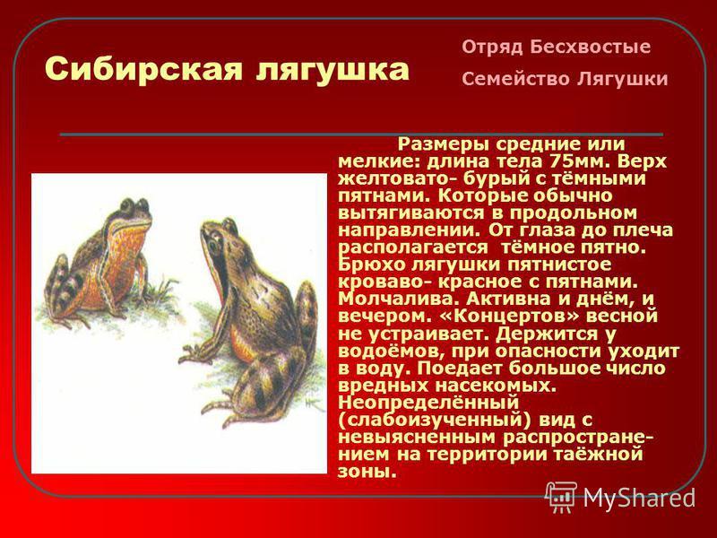Сибирская лягушка Размеры средние или мелкие: длина тела 75 мм. Верх желтовато- бурый с тёмными пятнами. Которые обычно вытягиваются в продольном направлении. От глаза до плеча располагается тёмное пятно. Брюхо лягушки пятнистое кроваво- красное с пя