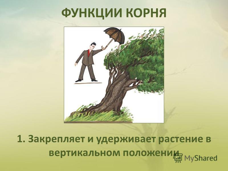 ФУНКЦИИ КОРНЯ 1. Закрепляет и удерживает растение в вертикальном положении