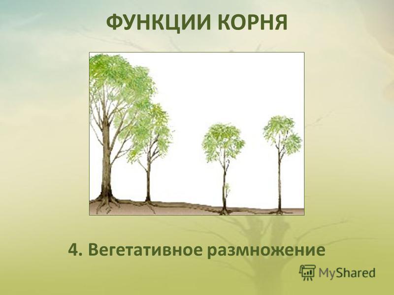 ФУНКЦИИ КОРНЯ 4. Вегетативное размножение