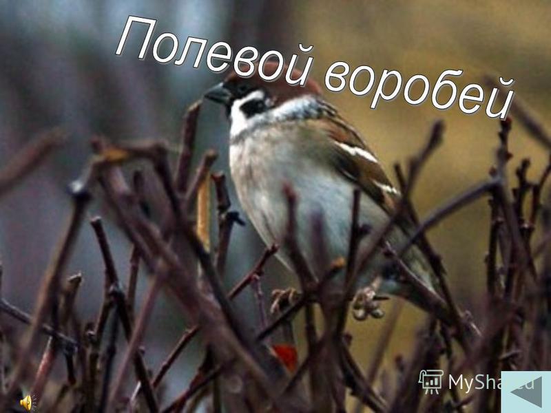 Обычная птица, встречается во всех населенных пунктах края, за исключением горных районов. Когда она голодна, то питается всевозможными отходами. Численность этих птиц огромна. Размером эта птица с голубя или чуть крупнее. Голова, зоб, крылья и хвост